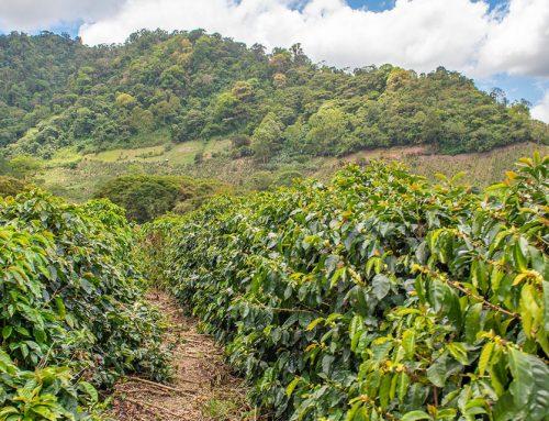Fincas Cafetaleras para Invertir en Costa Rica